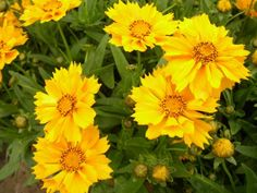 Tickseed 'Jethro Tull' is a unique, compact golden Coreopsis with wide, tubular, fluted petals. This Fall bloomer loves sun and is great in a container garden.