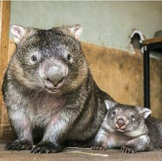Mummy and baby wombats.
