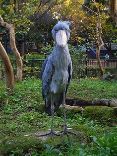 This creature will haunt your dreams it's a Shoebill Stork. Lives in the swamps of Africa