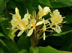 Hedychium flavescens - Yellow Ginger, Cream Garland-lily, Cream Ginger, 'Awapuhi melemele - Hawaiian Plants and Tropical Flowers