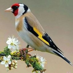 Goldfinch or European Goldfinch (Carduelis carduelis) - native to Europe, North Africa and western Asia, and introduced to Australia, New Zealand and Uruguay Rare Birds, Exotic Birds, Colorful Birds, Exotic Pets, Most Beautiful Birds, Pretty Birds, Animals Beautiful, Goldfinch, Tier Fotos