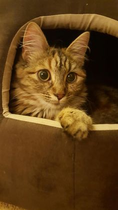 Boo showing her for Blue Cross, Ash, Kittens, Pets, Twitter, Animals, Gray, Cute Kittens, Animales