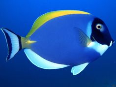 blue tang surgeon fish