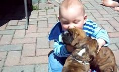 Boxer Puppies Cuddle Baby (Video)
