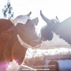 Un amor en los tiempos del odio  Ellos tuvieron la desgracia de nacer en una época donde millones de animales son traídos al mundo para ser asesinados y se les valora por su peso en kilos de carne cantidad de huevos o litros de leche. Pero hay un secreto muy importante: las vacas -al igual que todos los animales de granja- tienen una mente llena de curiosidad intereses pensamientos emociones vínculos afectivos cosas que les asustan y cosas que les encantan. Un mundo emocional maravilloso y…