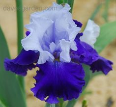 bearded iris pictures | tntigger wrote tall bearded iris over alaska iris over alaska