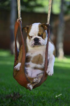 English Bulldog sleeping in swing. <> looks exciting!! #stillapuppyquestionmark Bulldog Puppies, Cute Puppies, Cute Dogs, Dogs And Puppies, Doggies, Funny Bulldog, Funny Pets, Baby Animals, Funny Animals