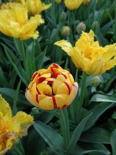 Tulipani al Castello di Pralormo https://lefotodiluisella.blogspot.it/2017/04/tulipani-pralormo-messer-tulipano.html