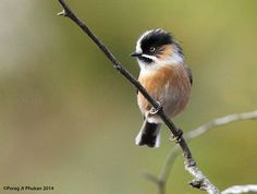 """Black-Browed Bushtit (Black-Browed Tit) - Aegithalos bonvaloti - Boreal forests and temperate forests of China and Burma (Myanmar), are where this bird of the family Aegithalidae makes its home. It is a small, long-tailed bird of 4.3-4.7"""" (11-12 cm) in length - Image : © Porag Jyoti Phukan / January 23, 2014"""