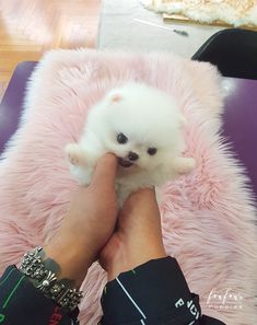 Welcome to FouFou Puppies. The Home of the World's Most Exquisite Micro Teacup Puppies for Sale. Contact Us Today to Reserve Your Teacup Puppy! Teacup Puppies For Sale, Tiny Puppies, Teacup Pomeranian, Dog Toys, Dogs, Animals, Animales, Small Puppies For Sale, Animaux