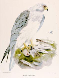 Joseph Wolf, Falcon, 1868