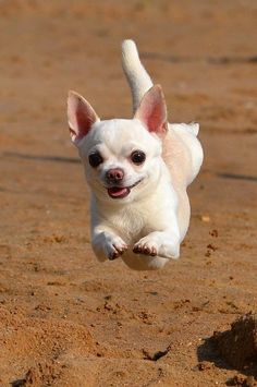 Chihuahua pictures give you a glimpse into the world of our favorite canine friends. You'll surely enjoy these running chihuahua dogs. Running brings pure joy… as seen in these dogs' eyes. Merle Chihuahua, Teacup Chihuahua, Chihuahua Puppies, Cute Puppies, Cute Dogs, Dogs And Puppies, Chihuahuas, Little Dogs, Big Dogs