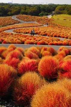 Kochia hills at Hitachi Seaside Park, Ibaraki, Japan ひたち海浜公園