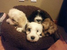 Baxter, Eddie, Heidi, & Abby 2 Cute Havanese