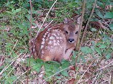 Metsäkauriin poikanen jota kutsutaan bambiksi