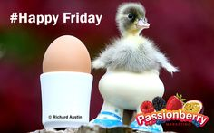 """""""#HappyFriday Duck""""  For more, follow us on https://www.facebook.com/PassionBerryMarketing #Quotes #Marketing #Sydney"""