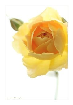 Perfect Yellow Rose ii by Alyson Fennell on 500px