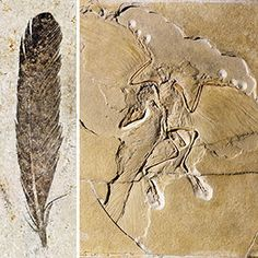 Taking a deeper look at 'ancient wing'. The fossil feather and skeleton of the iconic dinosaur Archaeopteryx.