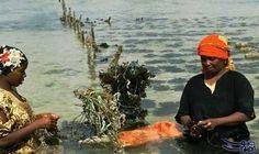 زراعة الطحالب في زنجبار تعاني من المياه…: تعاني محاصيلالطحالبفي زنجبار فيالمحيط الهنديمن ارتفاع حرارة المياه فضلا من منافسة اسيوية…