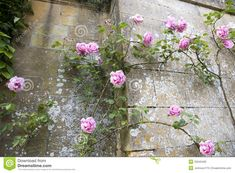 climbing rose wall - Google Search Rose Wall, Old Rose, Climbing Roses, Floral Wreath, Wreaths, Garden, Flowers, Plants, Pink