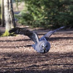 'Great Grey Owl ' by Niall ferguson on Photocrowd