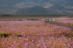 One of the Driest Deserts on Earth Blooms with Life and Color The Atacama Desert in Chile is known as one of the driest and most barren places on Earth. Desert Sahara, Dry Desert, Desert Flowers, Pink Flowers, Champs, Utah, Chile, Paradis, Lakes