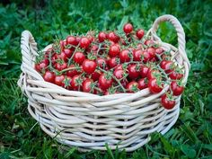 [[start tab]] Description 60 days. This juicy, currant type, deep red, round tomato is the size of a small cherry sporting mouth-popping, bold flavor. It was a real hit at our local HomeGrown Festival