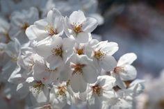 #cherry blossoms, #beautiful, #flower, #spring, #garden,