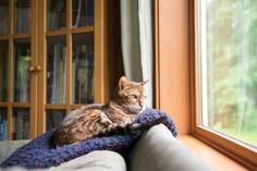 Photographic Print: Bengal Mix Cat Relaxing on Indigo Blue Blanket by Large Window Looking Outside by Anna Hoychuk : 24x16in
