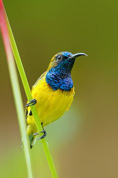 libutron:Olive-Backed Sunbird - male| ©Yan Leong Lee (Singapore)The Olive-backed sunbird, Nectarinia jugularis (Passeriformes - Nectariniidae), also known asYellow-breasted Sunbird, is a beautiful bird up to 12cm, with olive green back and yellow underside. The bill is long and curves downwards. Males have a metallic blue throat and breast.Nectarinia jugularis inhabits rainforest margins, watercourses, mangroves, farmland, and suburban gardens, in Australia andsouthern Asia [1].