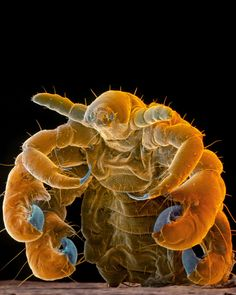 Microscopic images show vampire insects - Imagens microscópicas mostram insetos vampiros