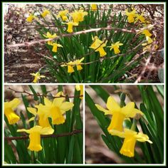 April's Homemaking: Signs of Spring and Organizing my DVDs - spring narcissus