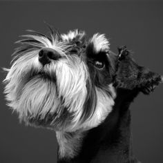 Dogs in Art at the StockBridge Gallery -    Schnauzer Study I by Mandy Nutley, £95.00 (http://www.dogsinart.com/schnauzer-study-i-by-mandy-nutley/)