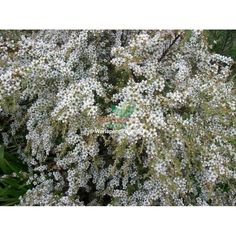 A very showy, weeping shrub which is covered in masses of white blossoms late winter to spring. Australian Native Garden, Australian Plants, Australian Bush, Manuka Tree, African Plants, Screen Plants, Native Australians, Fruit Trees, Native Plants