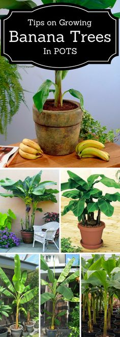 System - Gardening tips for growing banana trees in pots or container., Aquaponics System - Gardening tips for growing banana trees in pots or container., Aquaponics System - Gardening tips for growing banana trees in pots or container. Diy Gardening, Organic Gardening, Container Gardening, Flower Gardening, Hydroponic Gardening, Gardening Shoes, Kitchen Gardening, Container Plants, Vegetable Gardening