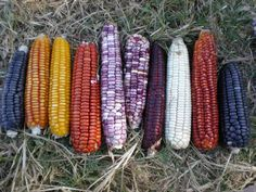 Znalezione obrazy dla zapytania variety of corn in the philippines Rainbow Corn, Rainbow Fruit, Fruit Garden, Edible Garden, Fruit And Veg, Fruits And Vegetables, Glass Gem Corn, Guatemalan Recipes, Guatemalan Food