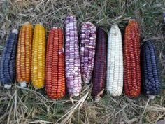 Native corn circa 21st Century