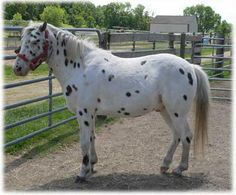 Poa age: 16!very flashy and definitely picks her feet up and is very fast, she loves jumping and is a amazing pony $750