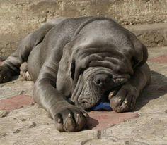 Cornelius ♡ Big Dogs, Dogs And Puppies, Neopolitan Mastiff, Mastiff Dogs, Cornelius, Cane Corso, Crazy Dog, Puppys, Big And Beautiful
