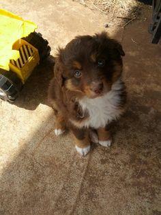 Red Aussie Puppy...just like my Woody, such a cutie! #pinkbowtie #woodytheaussie