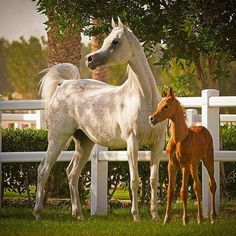 Grey Arabian chestnut Arabian foal