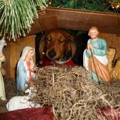 There was a dachshund present at the birth of Jesus? I Love Dogs, Cute Dogs, Dachshund Love, Daschund, Weenie Dogs, Doggies, Little Dogs, Dog Life, Animal Pictures