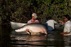 Arapaima from Costa's Protect Guyana Project. #seewhatsoutthere
