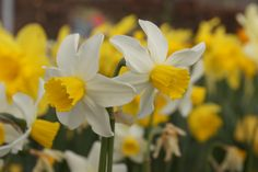 Narcissus Jack Snipe - Dutch Garden World