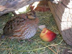 Housing And Feeding Your Quail - BackYard Chickens Community
