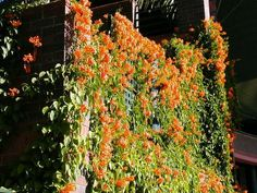 Orange Vine Flowers | Recent Photos The Commons Getty Collection Galleries World Map App ...