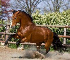 Holsteiner and Zangersheide registered sport horse, Canabis Z. photo: Sjoert.