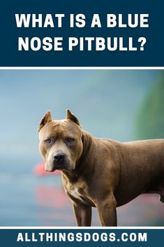 What Is A Blue Nose Pitbull? The Blue Nose Pitbull is the American Pitbull Terrier, just blue. They are a rare dog because the coloring is caused by recessive genes. Read on to learn more about them. #bluenosepitbull #whatisabluenosepitbull #pitbull Pitbull Dog Names, Pitbull Mix Breeds, Blue Nose Pitbull, Puppy Names, Dog Breeds, Pit Puppies, Rare Dogs, Pitbull Terrier