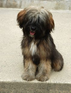 best photos, pictures and images about tibetan terrier - oldest dog breeds Terriers, Terrier Breeds, Terrier Dogs, Pitbull Terrier, Dog Breeds, I Love Dogs, Cute Dogs, Tibetan Terrier, Old Dogs