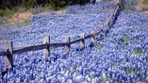 The Texas Bluebonnet is just a sweet little flower.... love the color